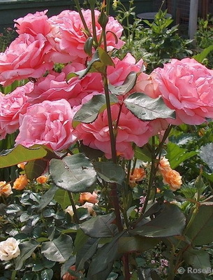 О розе версилия: описание и характеристики сорта чайно гибридной розы