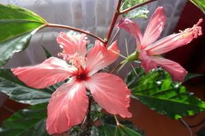 О китайской розе как цветке смерти: почему нельзя держать и выращивать в доме