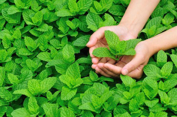 Мята перечная: выращивание, способы применения листьев растения
