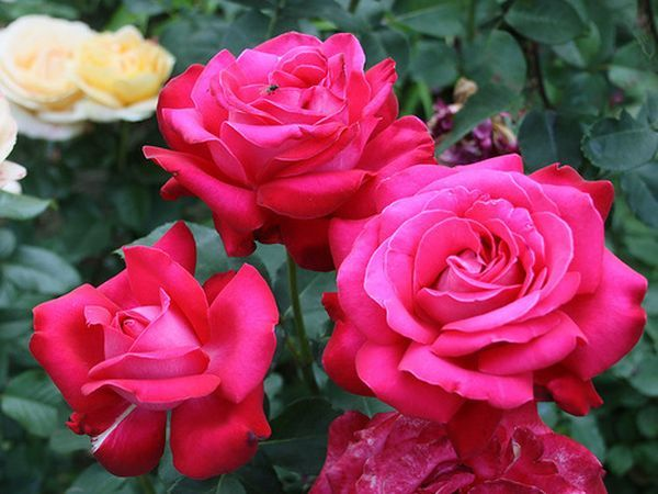 О посадке и уходе за чайно-гибридной розой, выращивание в открытом грунте