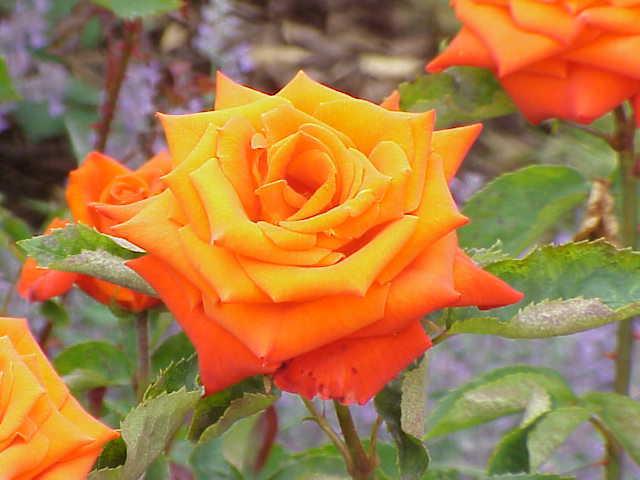 О розе vuvuzela: описание и характеристики сорта, уход и выращивание