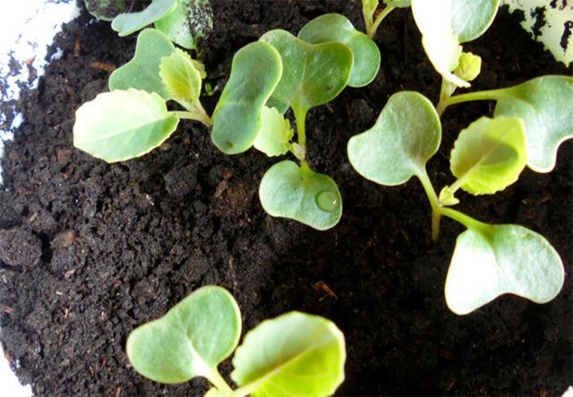 О посадке капусты в мае, благоприятные дни для посадки капусты, пересадка
