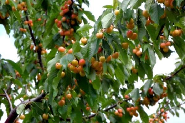 О желтой черешне: описание и характеристики сортов, уход, выращивание