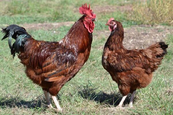 О курах род айленд: характеристики породы, разведение, содержание поголовья