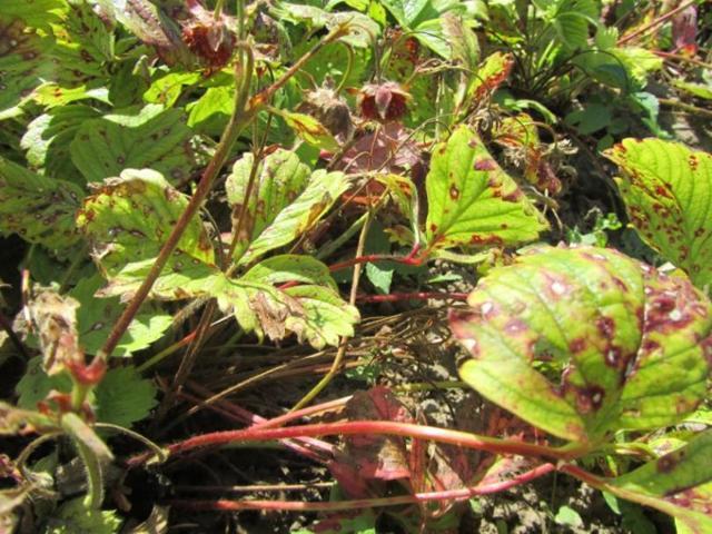 О клубнике: сохнет с ягодами, что делать если сохнут и коричневеют ягоды