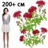 О розе луис одьер (louise odier): описание и характеристики сорта парковой розы