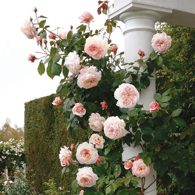 О розе shropshire lad: описание и характеристики сорта, уход и выращивание