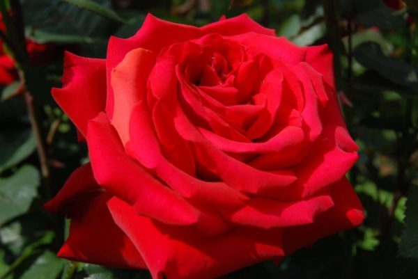 О розе гранд аморе (grande amore): описание и характеристики сорта