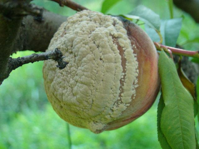 О болезнях персика: клястероспориоз, вредители, способы лечения и борьбы