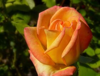 О розе fisherman friend: описание и характеристики сорта, уход и выращивание
