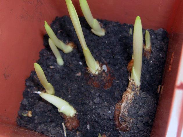 О посадке и уходе за фрезией в открытом грунте, выращивание фрезий в горшке