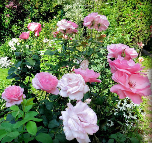 О розе грандифлора: что это такое, характеристики сортов розы, правила ухода