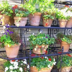 О выращивании клубники на балконе: как вырастить в домашних условиях