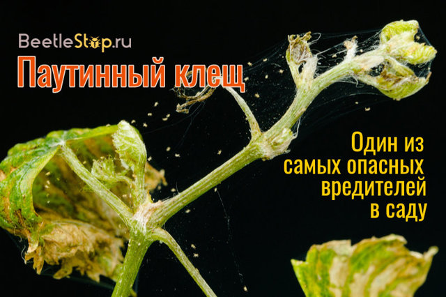 О паутинном клеще на баклажане: как бороться с вредителем, каким препаратом обработать