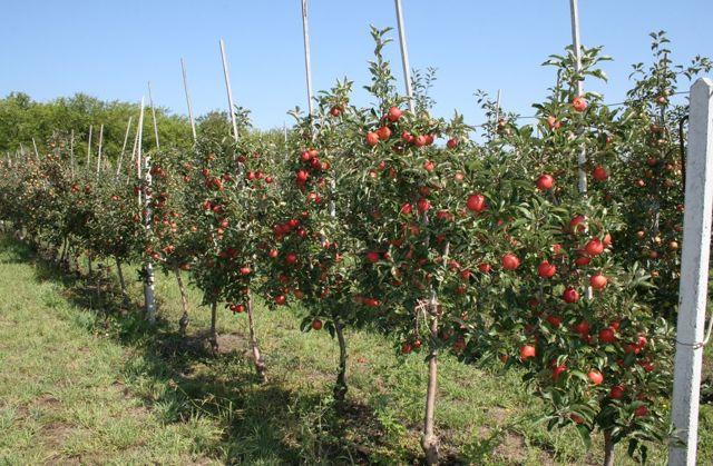 О выборе саженцев яблони для посадки: какой покупать сорт, как хранить