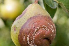 О груше чижовской: описание и характеристики сорта, посадка, уход, выращивание