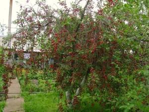 О вишне шпанка: описание и характеристики сорта, уход и выращивание