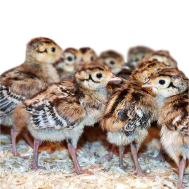 О разведении и содержании фазанов в домашних условиях: чем кормить птенцов