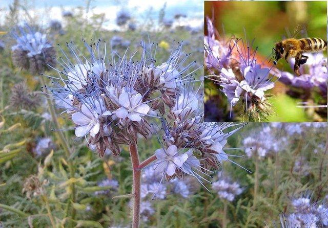О медоносных растениях высеваемых специально для пчел: подсолнух, эспарцет, соя