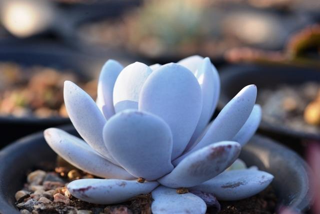 О каменной розе (молодило): как выглядит цветок, его правильное название