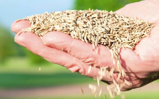 О нормах расхода семян травы при посадке газона: сколько надо на 1м2 и сотку