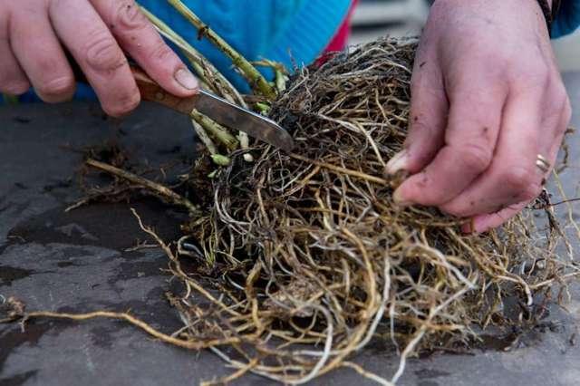 О посадке и уходе за флоксом многолетним в открытом грунте, правила рассадки