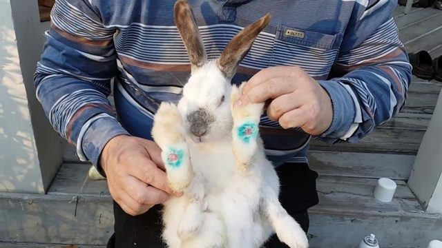 О пододерматите у кролика — лечение: натоптыши и болячки на лапах, как лечить