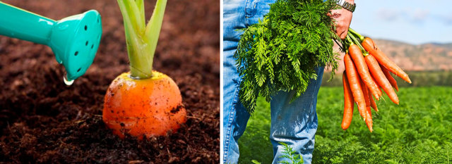 Морковь на ленте: как сажать в грунт, как подготовить и наклеить семена