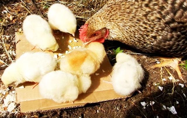 О возрасте цыплят и питании: когда можно давать птенцам зерна пшеницы, песок