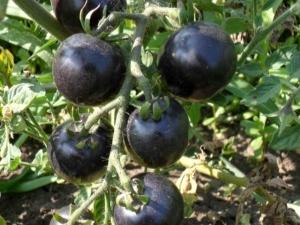 Негритенок: описание сорта томата, характеристики помидоров, посев