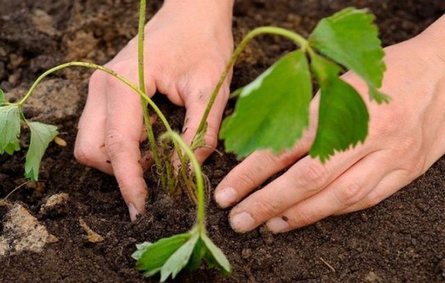 О землянике клери: описание и характеристики сорта, посадка, уход, выращивание