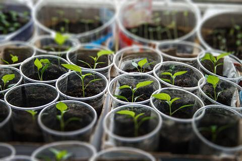 О посадке кабачков семенами в открытый грунт: как правильно посеять
