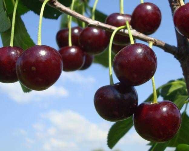 О вишне изобильной: описание и характеристики сорта, уход и выращивание