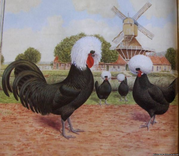О курах голландских: характеристики породы, разведение, содержание поголовья