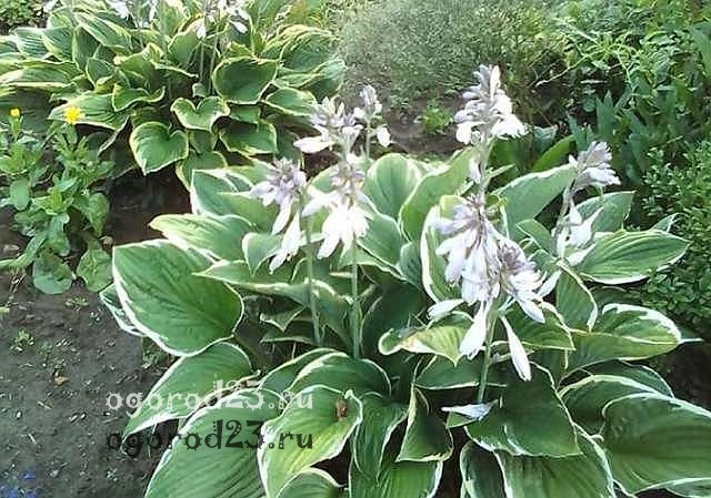О луковичных цветах многолетниках для сада и огорода: посадка осенью и подкормка