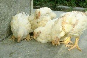 О микоплазмозе у кур, бройлеров и цыплят: симптомы и лечение заболевания