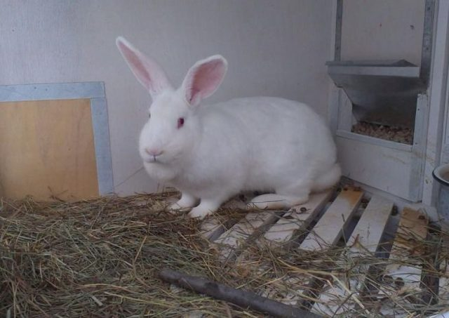 О кроликах породы белый великан: описание характеристик, разведение и содержание