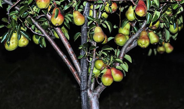 О груше талгарская красавица: описание и характеристики сорта, посадка, уход
