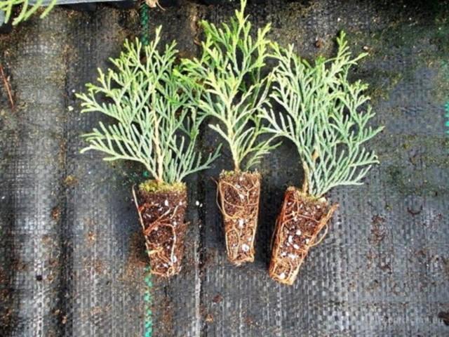 О размножении туи черенками в домашних условиях: как посадить, укоренить