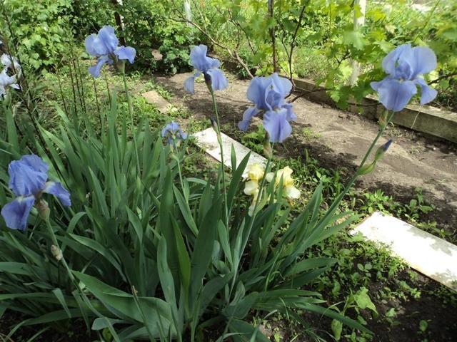О посадке и уходе за ирисом в открытом грунте, выращивание в домашних условиях