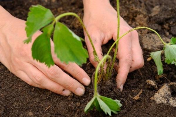 О клубнике купчиха: описание и характеристики сорта, посадка, уход, выращивание