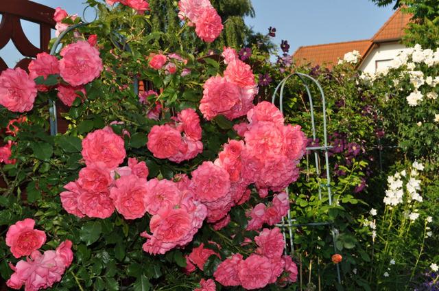 Роза Цезарь 21 фото описание плетистого сорта и правила его выращивания