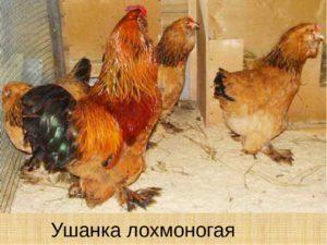 О лохмоногих (мохноногих) курах: выращивание курей с мохнатыми лапами