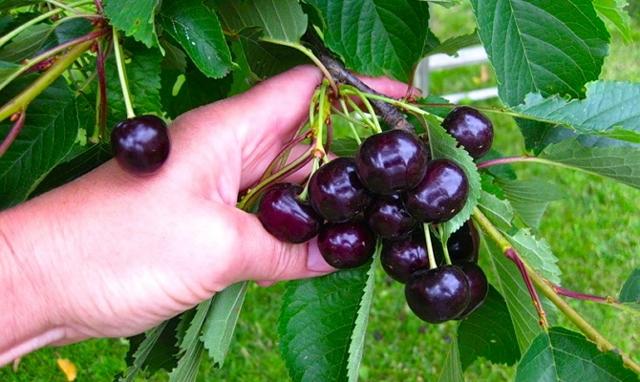 О самоплодной вишне: описание зимостойких сортов для средней полосы