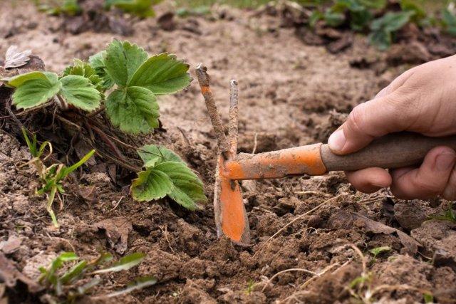 О клубнике элиане: описание и характеристики сорта, посадка, уход, выращивание