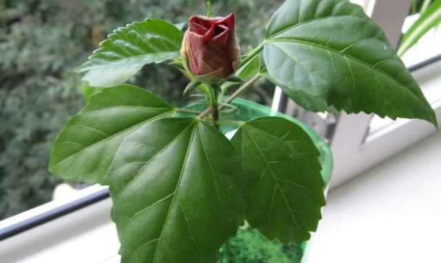 О размножении китайской розы в домашних условиях, выращивание дома в горшке