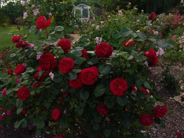 О розе eric tabarly: описание и характеристики сорта плетистой розы