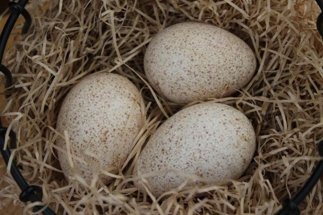 О бронзовых индюках: описание породы широкогрудых домашних индеек