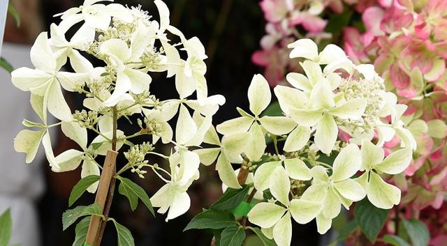 О лучших сортах гортензии метельчатой: описание, рейтинг видов растений