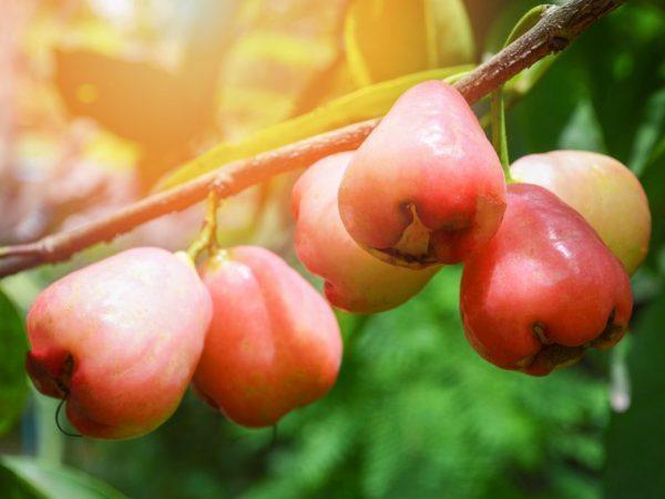 О сорте яблок белая роза: описание и характеристики сорта, посадка и уход